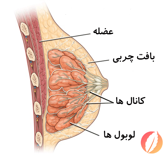 ساختار سینه